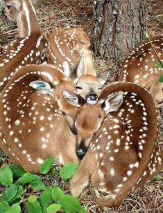 the baby deer create a heart :) Nature Animals, Animals And Pets, Wild Animals, Sleepy Animals, Animals Images, Beautiful Creatures, Animals Beautiful, Beautiful Babies, Beautiful Family