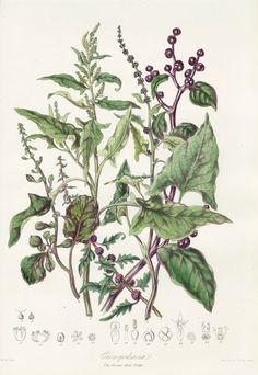 Elizabeth Twining Botanical Prints 1849