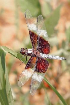 natures-paintbox: Resting Dragonfly (© Richard D. Cox / betterphoto.com)