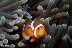 Taken during a scuba dive in Talima Marine Park, Philippines by Simon Chiu