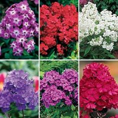 Phlox Orange PerfectionNicky Electrify your perennial garden