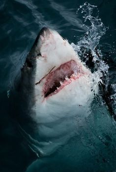 Such a beautiful shark. Hopefully, I get to see one in real life Shark Pictures, Shark Photos, The Great White, Great White Shark, Orcas, Ocean Ecosystem, Shark Bait, Underwater Creatures, Ocean Underwater
