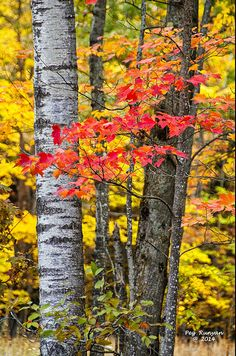 Northern Michigan forest displays autumn color.