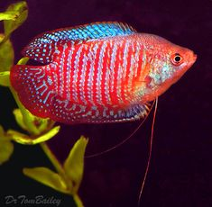 A Dwarf Gourami male swimming in one of our aquariums. To see more click on ... http://www.AquariumFish.net/catalog_pages/gouramis/gouramis.htm#dwarf