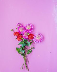 Pink flowers. dahlia