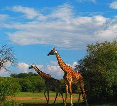 #Wildlife #Photographer of the #Year #2011 #Wettbewerb #Giraffes #Giraffen #Contest  http://www.digital-fotografie.us/2011/02/05/wildlife-photographer-of-the-year-2011/