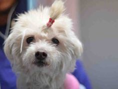 A1063962_CINDY SPAYED FEMALE, WHITE, MALTESE MIX, 13 yrs OWNER SUR – EVALUATE, NO HOLD Reason PERS PROB Intake condition GERIATRIC Intake Date 01/30/2016, From NY 10312, DueOut Date 01/30/2016,