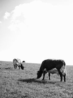 Picture, animals, cows, meadow, sky  //  bwstock.photography/animals.html