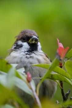 あたまボサボサだけど、寝グセじゃないからコレ。 #スズメ #Sparrows #鳥 #Birds #東京 #江東区 #写真好きな人と繋がりたい #寝起き #寝グセ