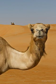 Wise camel knows secrets of the desert