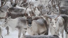 The reindeer is a semi-domesticated animal living in the northern regions that grazes in the fell highlands and forests. The reindeer is the undisputed sym