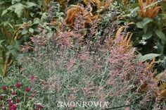 Monrovia's Apache Sunset Hyssop details and information. Learn more about Monrovia plants and best practices for best possible plant performance. Front Yard Plants, Hummingbird Plants, Monrovia Plants, Border Plants, Plant Catalogs, Water Wise, Shade Garden, Outdoor Spaces, Sunset