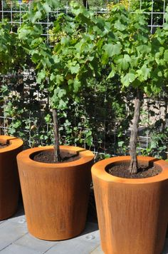 Nothing found for Growing Grapes In Home Garden Planter Bench, Raised Planter, Planter Pots, Fruit Garden, Garden Trees, Garden Planters, Terrace Garden, Container Plants, Container Gardening