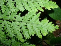 Toothed Wood Fern ~ Dryopteris carthusiana ~ Fine cut fronds.  Best in moist shady areas.