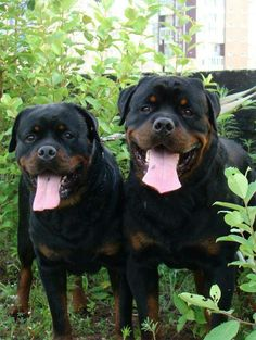 We raised two of these beautiful Rotts, (looked very much like these two) Tank von Bruinthor and Mandi, Amanda vom Bruinthor - they were the best dogs and we still miss them so much since they passed. they lived in the house with us and ate from a large Huge Dogs, I Love Dogs, Rottweiler Love, Doberman Pinscher, Mans Best Friend, Dog Life, Dogs And Puppies, Doggies, Animals And Pets