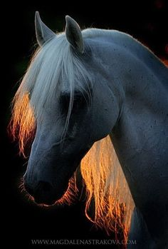 Arabian with glowing light through mane.