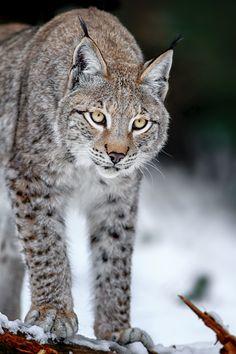 Lynx by Stefan Betz on 500px