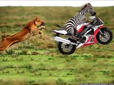 Funny Lion And Zebra Wallpaper