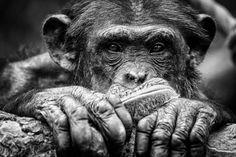 Chimpanzee -