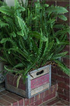 Fern in a vintage Carnation milk crate