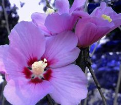 flower photograph pink mallow by paradisereal on Etsy, $32.00