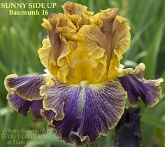 *Iris SUNNY SIDE UP