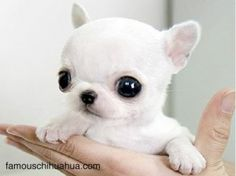 omg its eyes are too big for its head!! Teacup size Applehead chihuahua