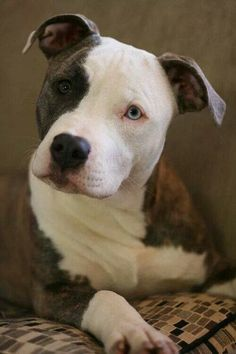 ...what a sweet face #PitBull