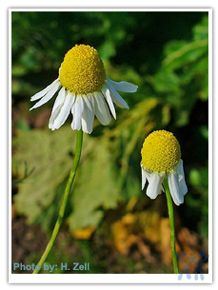 German Chamomile is a relative of asters, daisies, marigolds, lettuce, calendula, cone flowers (e.g. echinacea), chrysanthemums, and sunflowers. Research with animals suggests antispasmodic, anxiolytic, anti-inflammatory and some antimutagenic and cholesterol-lowering effects for chamomile.