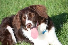 Sprollie Dog Breed Information, Facts, Photos, Care | Pets4Homes