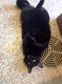2 / 19     Petango.com – Meet Ebony, a 4 years 7 months Domestic Medium Hair / Mix available for adoption in MISSION, KS