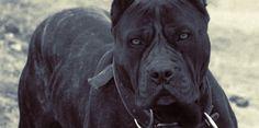 ambullneo mastiff - Google Search