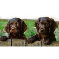 The American Water Spaniel Club says there are probably no more than 3,000 in existence. The breed's small but fiercely loyal band of admirers describes a merry, intelligent, and versatile spaniel suited to any number of dog sports.