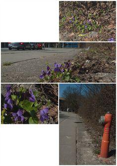 Dansk artsnavn Martsviol.  Spiselige dele. Blomsterne kan kandiseres og kan bruges til kagepynt.   Snapseurt. Blomstene kan bruges til urtesnaps.