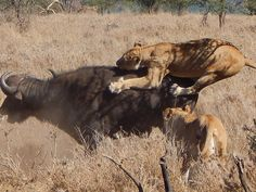 Over 50 Lions In One Day On Safari!!!