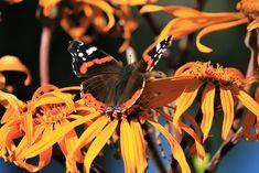 Kuvia neljästä vuodenajasta: Elokuu Butterflies, Flowers, Butterfly, Royal Icing Flowers, Flower, Florals, Floral, Blossoms