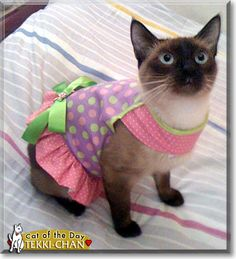 Read Tekki Chan the fashionable Seal Point Siamese's story from Cavite City, Philippines and see her photos at Cat of the Day http://CatoftheDay.com/archive/2010/July/17.html .