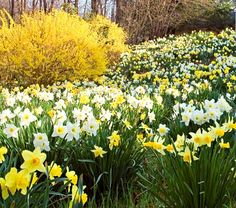 "The Works Southern Style, daffodils for naturalizing. 100 bulbs for $62 at White Flower Farm. Hardiness zone 6-8 S; 6-9 W. Full or part sun. Blooms Feb.-April. Spacing 5-6"". Reviewed by 11 customers, 5 stars. ""Tazetta, Jonquilla, and other Narcissus strains make reliable and long-lived perennials even in Zone 8, and the species forms have naturalized throughout the region. The Works Southern Style is made up from the modern cousins of these old-timers and it performs beautifully."""