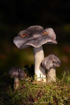 Tricholoma scioides ~ © Pauline and Ian Wildlife Images