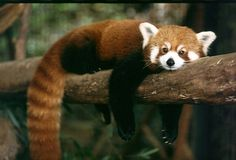 Red panda - Not all pandas are black and white - IlluzoneIlluzone