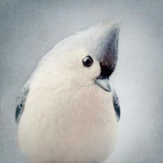 Fine art bird portrait photography print of a beautiful tufted titmouse by Allison Trentelman.