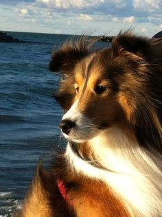 Shetland Sheepdogs, Shelties,