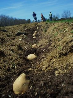 planting potatoes, Maine here is what we do in the farming part of my home state :-)