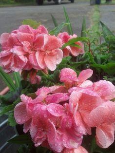 Salmon pink geraniums