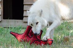 ACHILLES playing: High content arctic wolf mix wolfdog, born June 2012. Now in Saint Francis Wolf Sanctuary.The Wolves of Saint Francis Sanctuary | Montgomery, Texas | (936) 597-WOLF