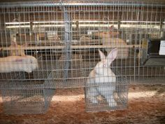 Rabbits in Rabbitry Cage - drop nest boxes and large rabbitry set up description. Like the watering system as well.