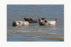 Zeehonden op zandbank, Texel, Waddenzee gefotografeerd door Edwin