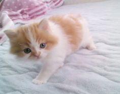 スコティッシュフォールド 猫