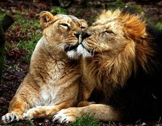 You have changed... You are not the same lion I married...