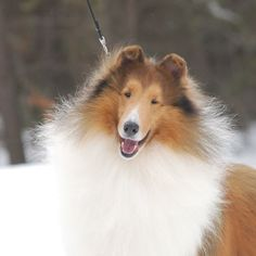 Collies are the Greatest!!!